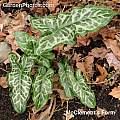 Arum italicum ssp. italicum 'McClements', Graham Rice