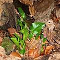 Arum maculatum, Jamie Vande