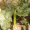 Arum italicum, form known as marmoratum, Giorgio Pozzi