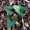 Asarum arifolium, Jay Yourch