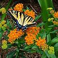 Asclepias tuberosa flower with Tiger Swallowtail (Papilio glaucus), Jay Yourch