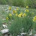 Asphodeline lutea, growing wild on Mt. Cetona, eastern Tuscany, Italy, Gianluca Corazza