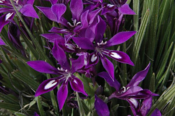 цветки: белый, красный, синий, фиолетовый положение: восточный балкон, западный балкон, северный балкон цветение...