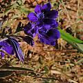 Babiana angustifolia, Darling, Bob Rutemoeller
