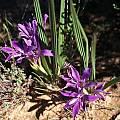 Babiana curviscapa, Namaqualand, Mary Sue Ittner