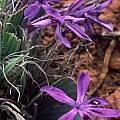 Babiana flabellifolia, Rod Saunders