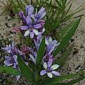 Babiana fragrans, Bainskloof, Mary Sue Ittner