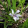Babiana nana ssp. maculata, Mary Sue Ittner