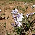 Babiana patersoniae, Napier, Cameron McMaster