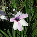 Babiana purpurea, Alan Horstmann