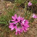 Babiana purpurea, Bob Rutemoeller