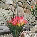 Babiana ringens, UC Botanical Garden