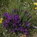 Babiana sambucina, Nieuwoudtville, Bob Rutemoeller [Shift+click to enlarge, Click to go to wiki entry]