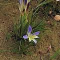 Babiana sp., Nieuwoudtville, Mary Sue Ittner
