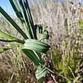 Babiana spiralis, Gregory Nicolson, iNaturalist, CC BY-NC