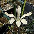 Babiana tubiflora, Nhu Nguyen
