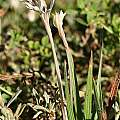 Babiana tubiflora, Andrew Harvie