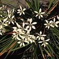 Babiana tubiflora, Uluwehi Knecht