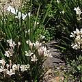 Babiana tubulosa, UC Botanical Garden, Nhu Nguyen