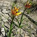 Baeometra uniflora, Napier, Cameron McMaster
