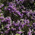 Collinsia heterophylla, Chinese Houses, Mary Sue Ittner