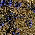 Penstemon heterophyllus, foothill penstemon, Bob Rutemoeller