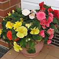 Begonia 'Nonstop', David Pilling