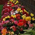 Begonia 'Nonstop', David Pilling