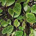 Begonia falciloba juvenile seedlings, Dylan Hannon