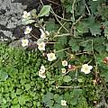 Begonia geraniifolia, Norton Cuba