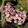 Begonia goudotii, Dylan Hannon