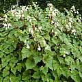 Begonia grandis, Jay Yourch