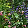 Begonia grandis, Wayne Crist