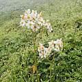Begonia octopetala, Norton Cuba