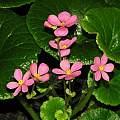 Begonia socotrana, Dylan Hannon
