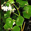 Begonia sp. ex Arteaga, Dylan Hannon