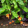 Begonia sutherlandii, Wayne Crist