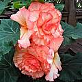 tuberous Begonia cultivar, Mary Sue Ittner