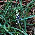 Bellevalia dubia blue buds, Mary Sue Ittner