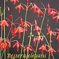 Bessera elegans, Bill Dijk