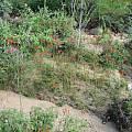 Bessera tenuiflora, Darren Sage