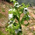 Bipinnula fimbriata flowers, Eugene Zielinski