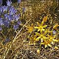 Bloomeria crocea with Triteleia laxa, Bob Rutemoeller