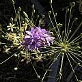Bloomeria crocea in bud, Bob Rutemoeller