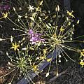Bloomeria crocea, Mary Sue Ittner