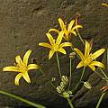 Bloomeria humilis, Mary Sue Ittner