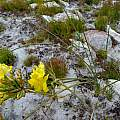 Bobartia indica, Hamish Robertson, iNaturalist, CC BY-NC