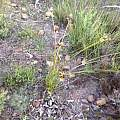 Bobartia species, Michael Mace