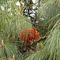 Bomarea acutifolia, Nhu Nguyen