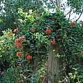 Bomarea petraea, Nhu Nguyen